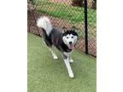 Adopt Shyla a Black - with White Husky / Mixed dog in Concord, GA (25544449)
