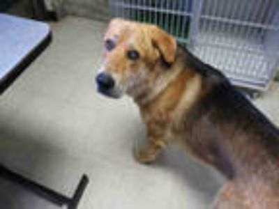 Adopt CAMRON a Black - with Tan, Yellow or Fawn German Shepherd Dog / Golden