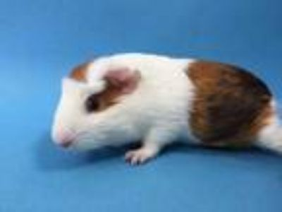 Adopt Scooter a White Guinea Pig / Mixed small animal in St. Paul, MN (25872385)