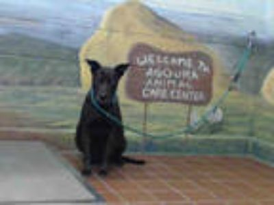 Adopt ROXY a Black Labrador Retriever / American Pit Bull Terrier / Mixed dog in