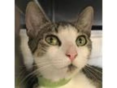 Adopt Celie *Available Sunday 6/23 a White Domestic Shorthair / Domestic