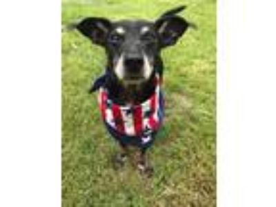Adopt Baylin a Black Dachshund / Mixed dog in West Allis, WI (25310019)