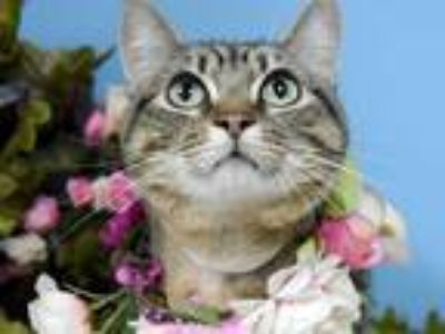Adopt Francie a Domestic Shorthair / Mixed cat in Portland, OR (25316972)