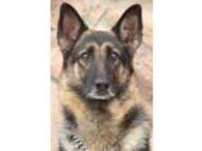 Adopt Mara von Marbach a Black - with Tan, Yellow or Fawn German Shepherd Dog /