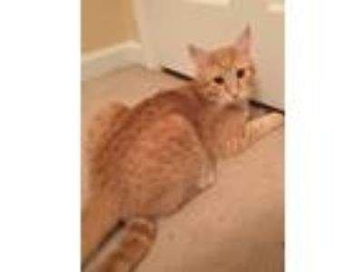 Adopt Tuck a Spotted Tabby/Leopard Spotted Domestic Shorthair / Mixed cat in