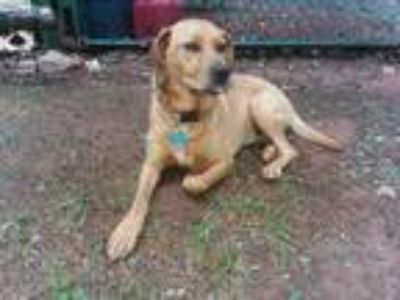 Adopt Buddha a Brown/Chocolate - with White Labrador Retriever / Hound (Unknown