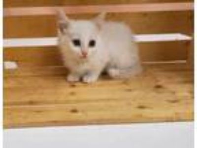 Adopt MONICA a White Domestic Shorthair / Domestic Shorthair / Mixed cat in