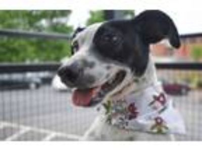 Adopt Pennyloaf a Parson Russell Terrier, Pointer
