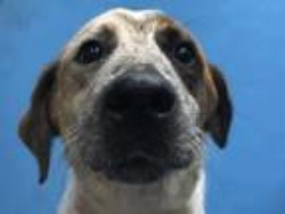 Adopt Stella a Australian Cattle Dog / Blue Heeler, Mixed Breed