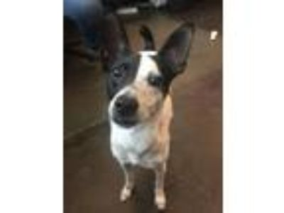 Adopt Toby a Rat Terrier, Mixed Breed