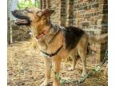 Adopt Daisy a German Shepherd Dog
