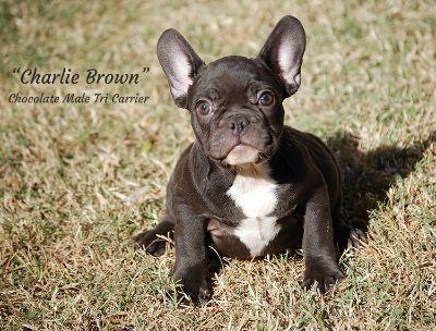 French Bulldog PUPPY FOR SALE ADN-108279 - AKC Chocolate French Bulldogs