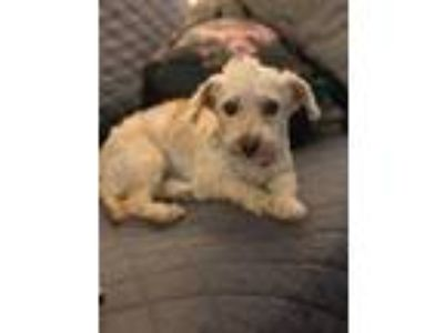 Adopt Rosie a White Poodle (Standard) / Mixed dog in Lodi, CA (25605309)