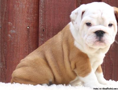 Chunky Bulldog Puppies