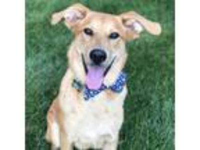 Adopt Pilot Pete a Red/Golden/Orange/Chestnut Labrador Retriever / Mixed dog in
