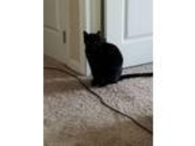 Adopt Frisky a All Black Bombay / Mixed cat in Nashville, TN (24444875)