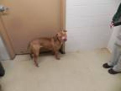 Adopt Brutus a Red/Golden/Orange/Chestnut - with White Pit Bull Terrier / Mixed