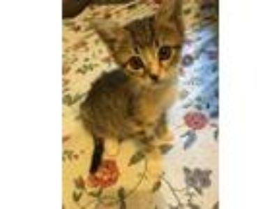Adopt Polly and Penny a Abyssinian, Tortoiseshell
