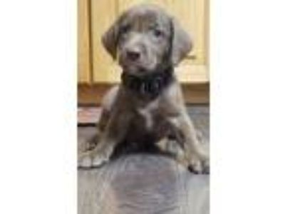 Adopt Hershey a Brown/Chocolate Labrador Retriever dog in Palatine