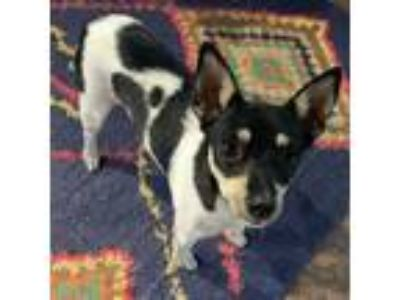 Adopt Gidget a Tricolor (Tan/Brown & Black & White) Rat Terrier / Mixed dog in