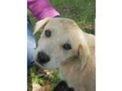 Adopt Suede a White - with Gray or Silver Labrador Retriever / Cattle Dog /