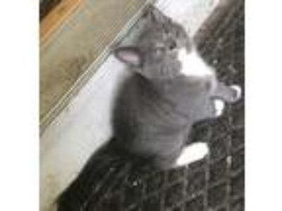 Adopt Bashful a Gray or Blue (Mostly) Domestic Shorthair / Mixed cat in Bolton