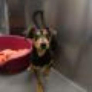 John Legend Dachshund - Miniature Pinscher Dog