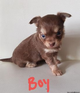 Chihuahua Chocolate Tri Boy Puppy