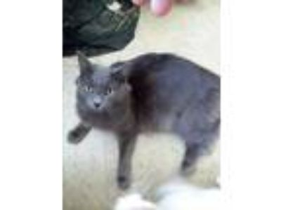 Adopt Bruno a Gray or Blue Russian Blue (long coat) cat in Brookhaven