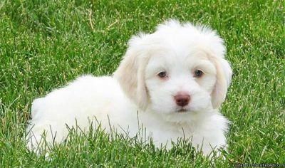 Cockabichon Puppies for Sale