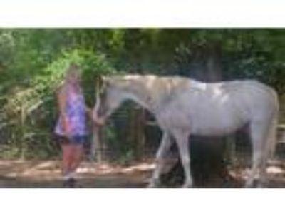 Adopt Grace a Roan Grade horse in Cantonment, FL (13776653)