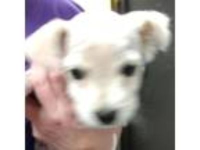 Adopt LAURA LEE a White - with Tan, Yellow or Fawn Terrier (Unknown Type