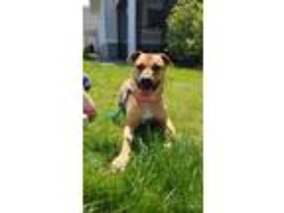 Adopt Jazz a Tan/Yellow/Fawn American Pit Bull Terrier / Mixed dog in Hudson
