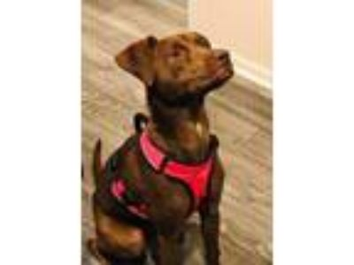 Adopt Aysha a Brown/Chocolate American Pit Bull Terrier / Terrier (Unknown Type