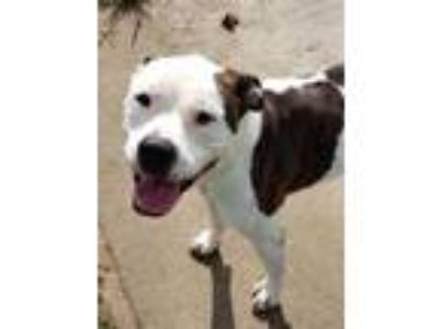 Adopt ROXY a Brindle - with White American Pit Bull Terrier / Mixed dog in