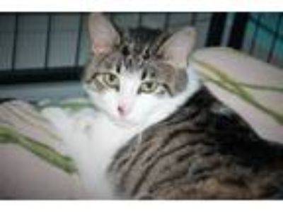 Adopt ace a Tiger Striped Domestic Shorthair (short coat) cat in Muskegon