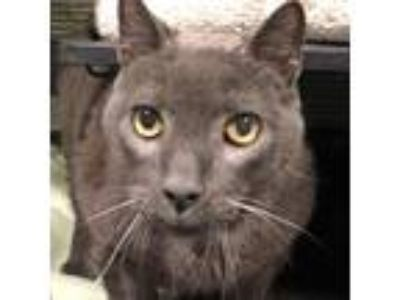 Adopt Roco a Gray or Blue Domestic Shorthair cat in Folsom, LA (24598601)