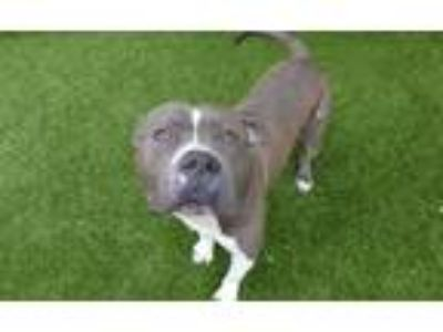Adopt *REGGIE a Gray/Silver/Salt & Pepper - with White American Pit Bull Terrier
