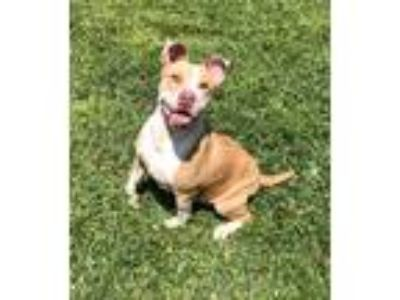 Adopt Lady a Tan/Yellow/Fawn - with White American Pit Bull Terrier dog in