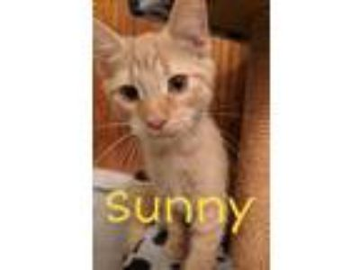 Adopt Sunny a Orange or Red Domestic Shorthair (short coat) cat in South Bend