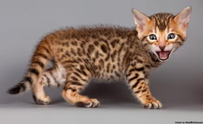 New Era Bengal Kittens