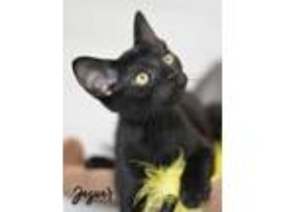 Adopt Jaguar a All Black Domestic Shorthair / Mixed (short coat) cat in
