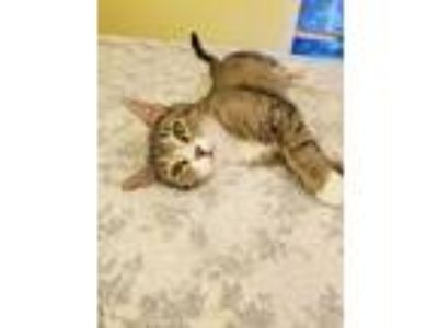 Adopt Addie a Tiger Striped American Shorthair (short coat) cat in East