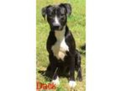 Adopt Dack a Pit Bull Terrier
