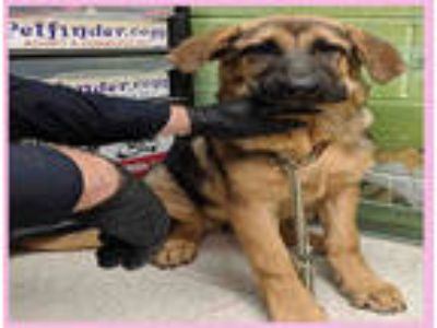 Adopt SABRINA a Black - with Tan, Yellow or Fawn German Shepherd Dog / Mixed dog