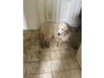 Adopt Jake a White Great Pyrenees dog in Arlington, TX (25304543)