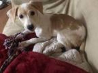 Adopt Daisy a White - with Tan, Yellow or Fawn Jack Russell Terrier / Mixed dog