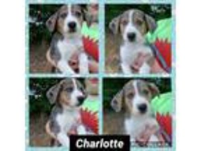 Adopt Charlotte a Catahoula Leopard Dog, Australian Cattle Dog / Blue Heeler