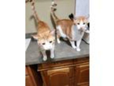 Adopt Mario & Luigi a Orange or Red Tabby Calico / Mixed cat in Hamburg