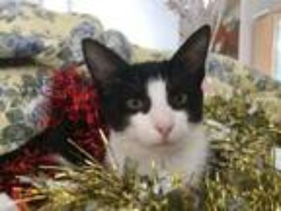 Adopt Mike the Mechanic a Black & White or Tuxedo Domestic Shorthair / Mixed